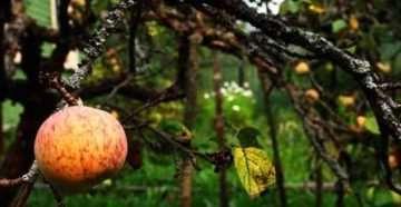 Как омолодить яблоню