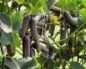 Правда и мифы о выращивании сортов огурцов