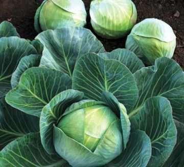 Ранние сорта капусты