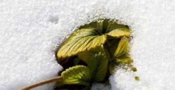 снег на грядках