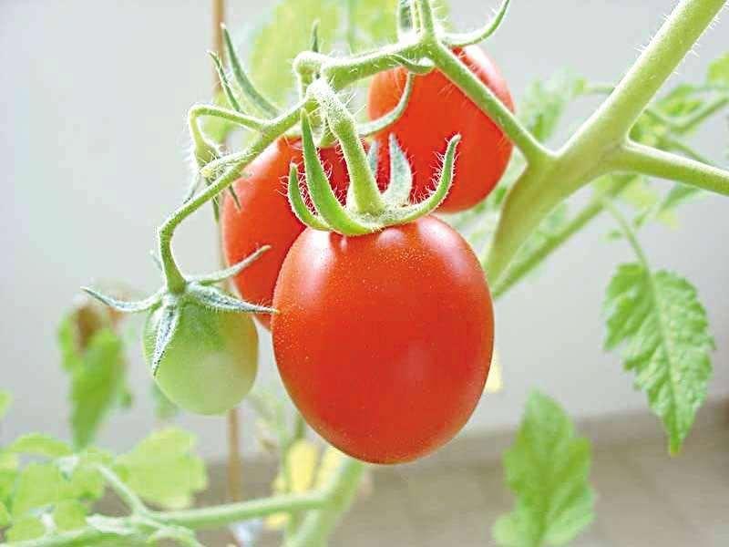 листья помидоров нужно обрезать