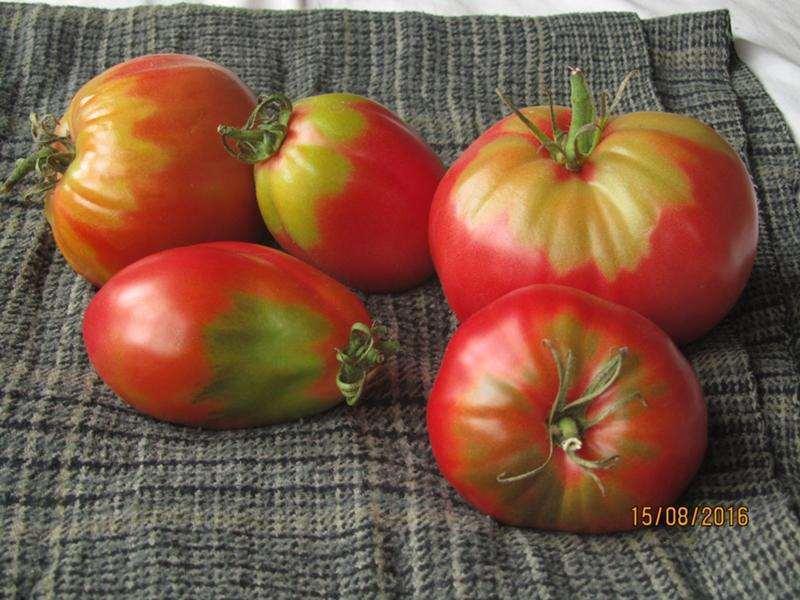 не краснеют помидоры