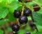 Смородина: весенняя обработка кипятком