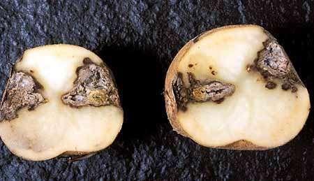 Фомоз картошки
