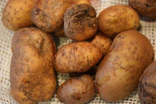 фитофтора на картошке