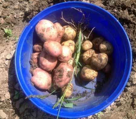 картошка из мешка