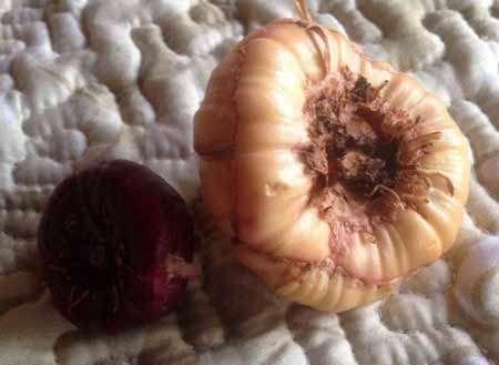 выбор луковицы гладиолуса