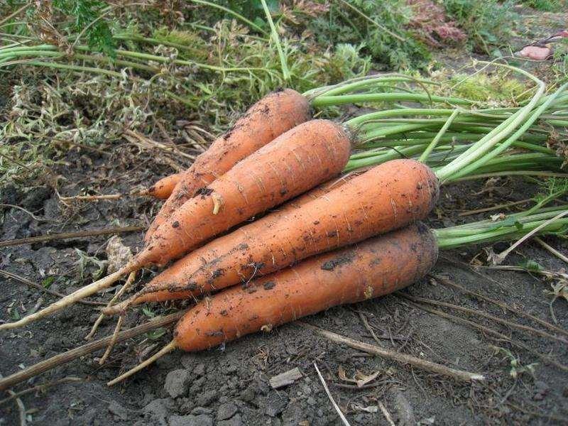 морковка Император