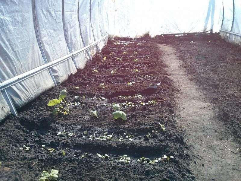 Выращивание редиса в терлице