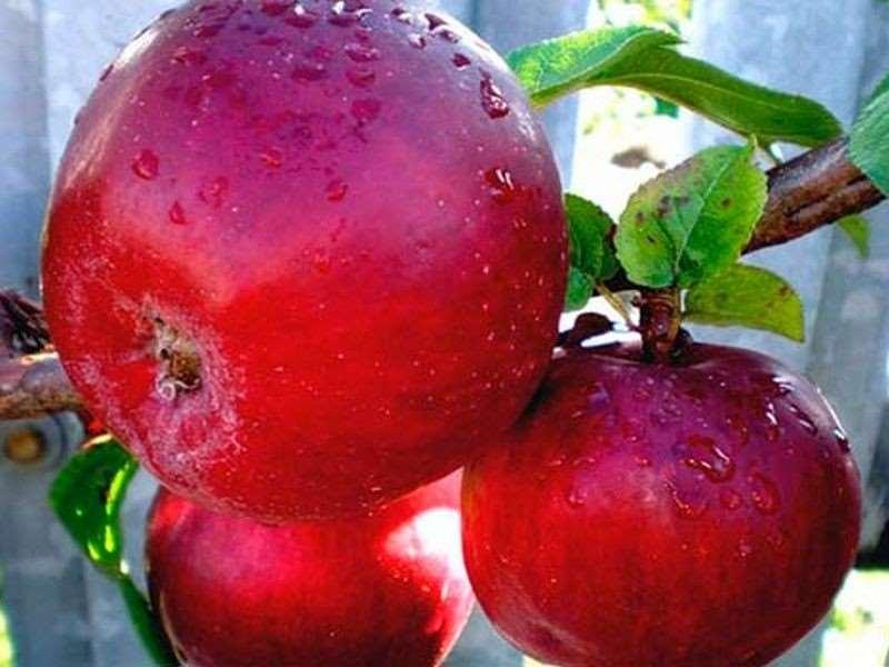 уход за яблоней в период плодоношения