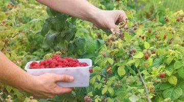 Как правильно сажать малину: пошаговая инструкция для начинающих
