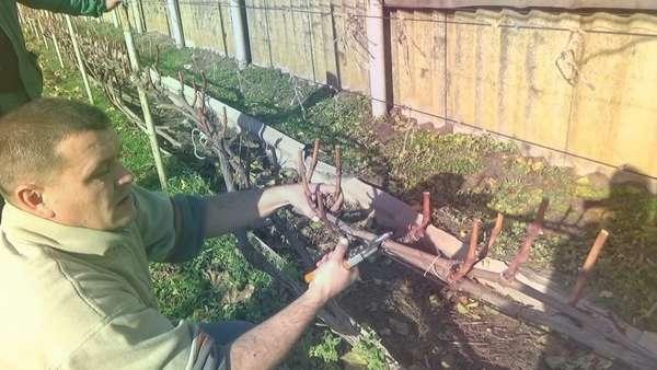 Когда и как правильно обрезать виноград осенью: схемы обрезки для начинающих. Обрезка винограда осенью: понятная инструкция для начинающих